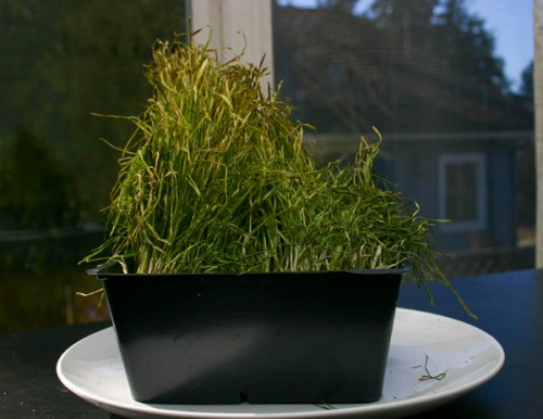 A container of wheat grass.  The grass is chewed, disheveled and yellowing.