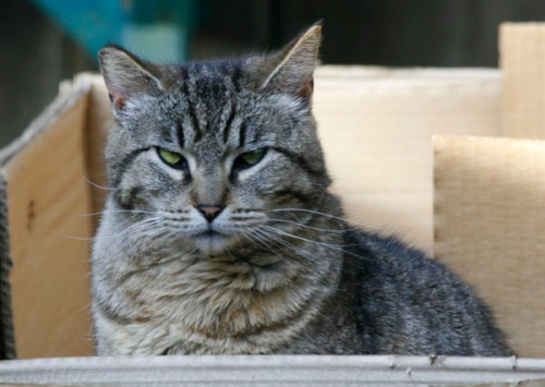 Marvie, a medium-haired gray tabby sits in a box and faces the camera.  Her right ear is missing about a half-inch at the tip.