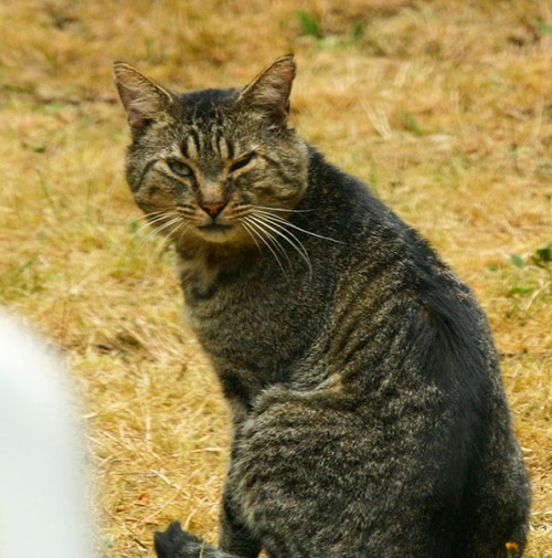 Mr. Man- A gray, tiger-striped tabby with nicks in his ears and one eye partially shut and infected.