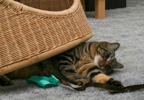 Otis is lying on his side with the front third of his body sticking out from under a chair. HIs left paw is reaching out to attack a piece of brown and green fabric ribbon.