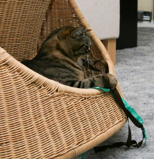 Otis is popping up out of the space at the back of a wicker rocking chair. He is clawing and biting a brown and green ribbon.