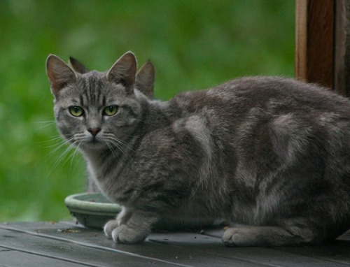 Pumpkin, a light gray marbled tabby.