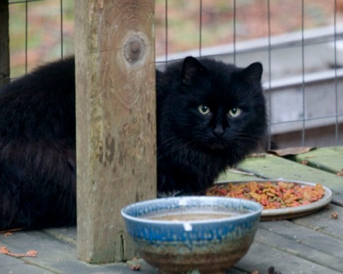 A long-haired, black cat pauses over a dish of food.