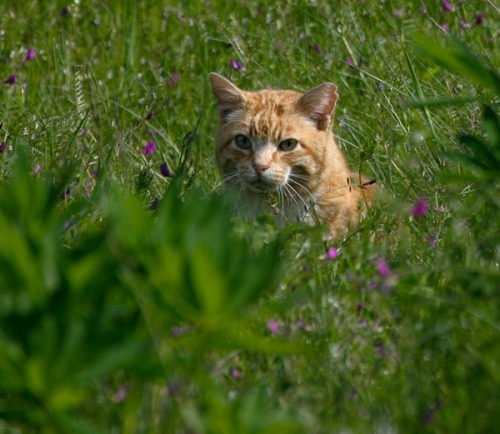 An orange tabby cat sits in a field in Seattle's Discovery Park.  His left ear is notched.