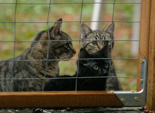 A cat with two kittens looks in through the wire door of an enclosure.