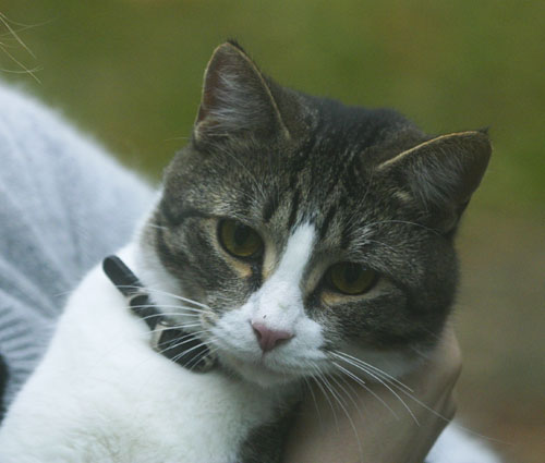 A tabby cat with a white nose and bib wearing a small dog collar.