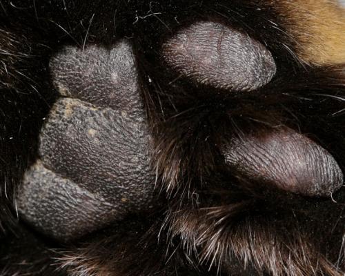 A close-up of Otis's foot pads.