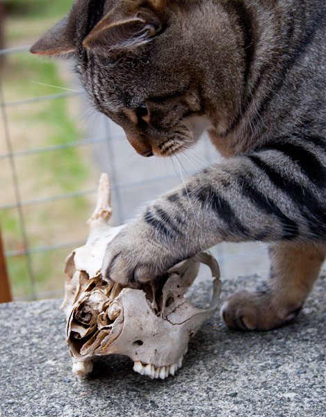 Otis with his paw on a skull.