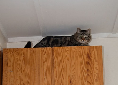 Otis on top of a cabinet.