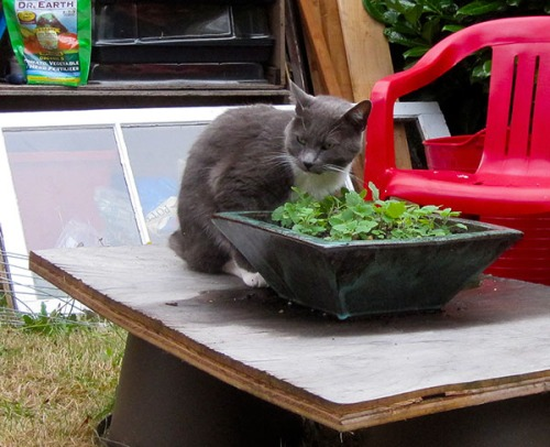 Zephyr sitting in front of a pot growing catnip.