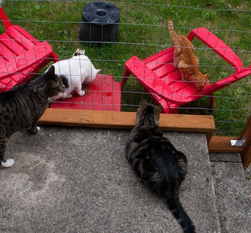 Otis and Oliver in their enclosure while Domino and an orange tabby eat outside.