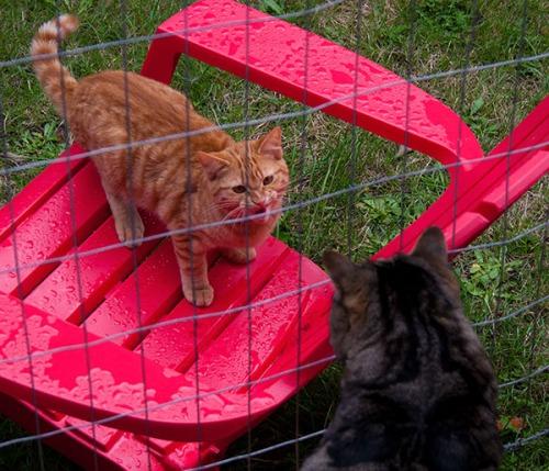An orange tabby hissing at Otis.