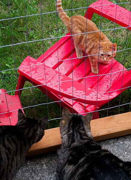 Otis and Oliver look at an orange tabby who is staring back from outside their enclosure.