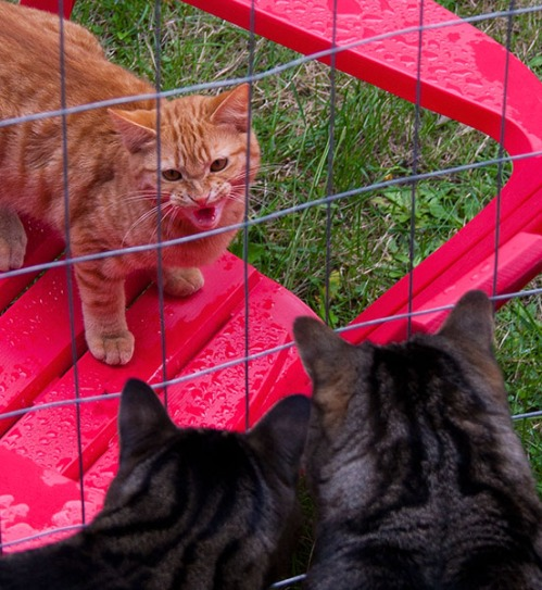 An orange tabby hisses at Brother Oliver.