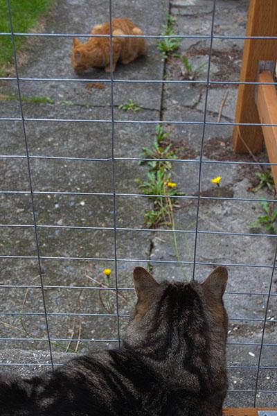 Otis watches an orange tabby eat.