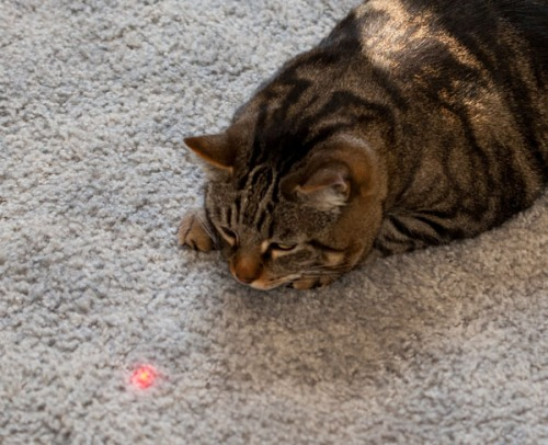 Otis fixated on a red dot.
