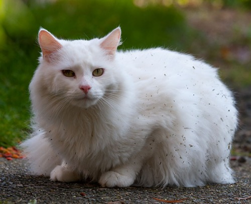A white, long-haired cat