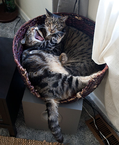 Otis and Oliver in a basket with Otis yawning in Oliver's face.