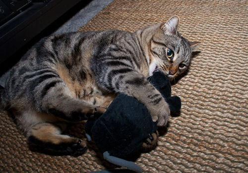 Otis fighting a stuffed rat.