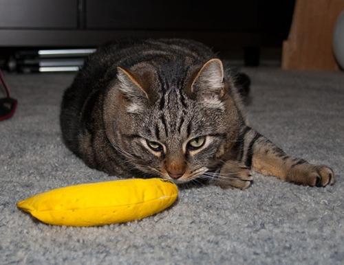 Otis sniffing banana.