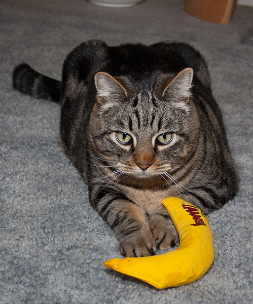 Otis sitting on his stomach with the banana in front of him.