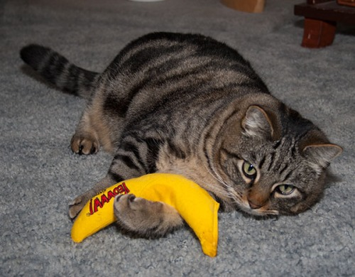 Otis laying on his side holding the banana in one paw.