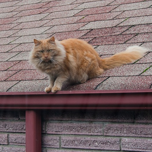 Mama Cat on the roof.