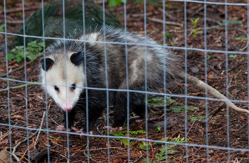 An Opossum is seen through the wire of an enclosure.