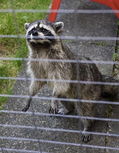 Raccoon Standing Up