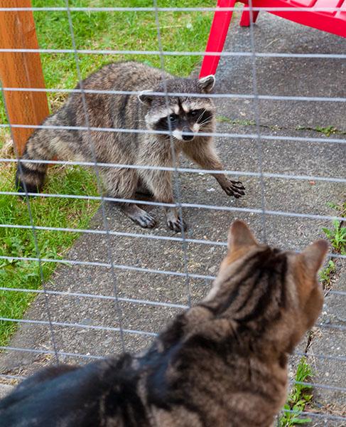 Raccoon Pacing