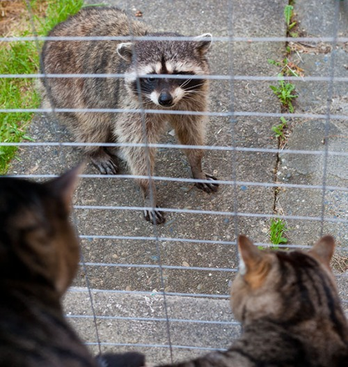 Raccoon Confronted by Henry