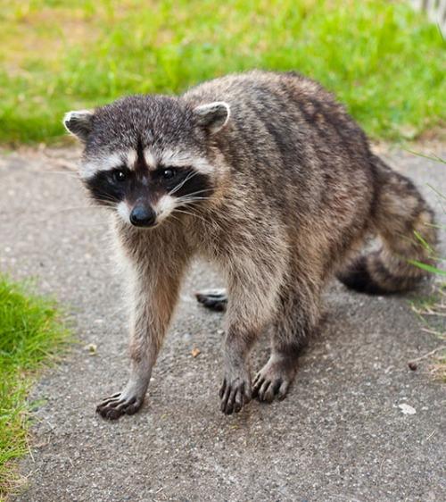 Raccoon Uncertain