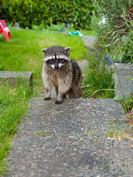 Raccoon in Retreat