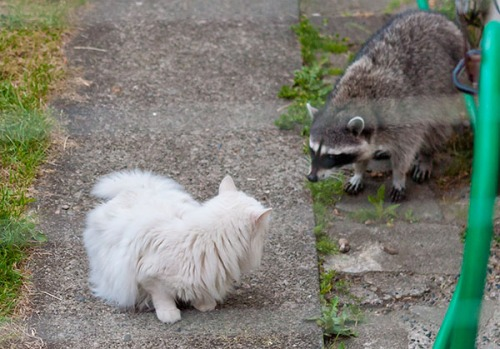 Raccoon, Beatrice 2