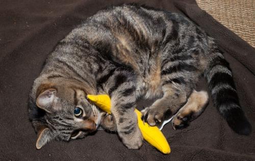 Otis with catnip banana 1