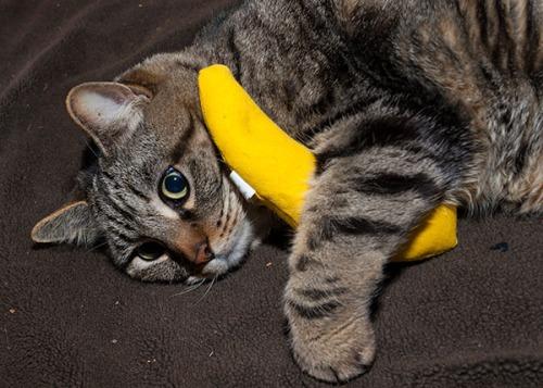 Otis with catnip banana 4