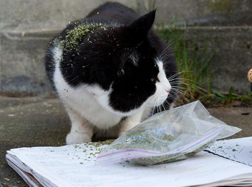 Stanley catnip thief 2