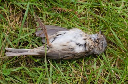Lincoln's Sparrow dead