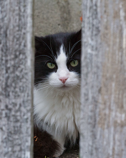 Cat peering through fence