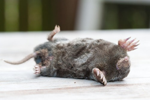 Cat killed Mole