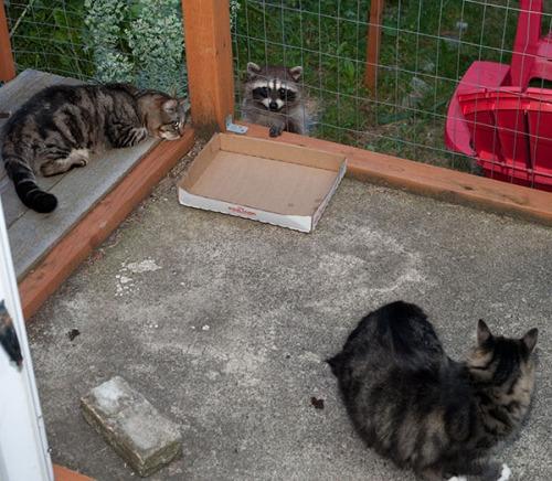 Otis, Thomas and Raccoon