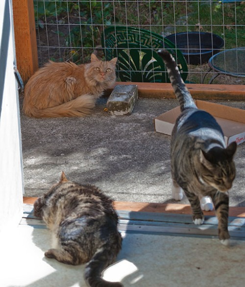 Otis, Oliver, Mama Cat, enclosure 4