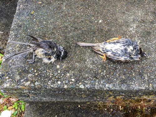 Dead Sparrow and Chickadee from Cookie