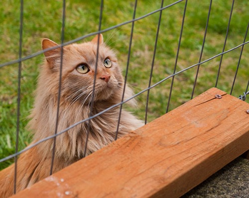 06 Mama_Cat looking in enclosure